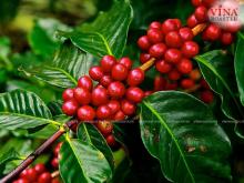 Tìm hiểu tất tần tật về những hạt cà phê ngon nhất Việt Nam
